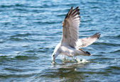Seagull dives into the water of Lake Baikal for food — Stock Photo