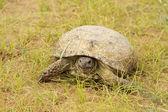 Turtle in the desert sands of the Kyzyl Kum — Fotografia Stock