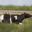 Cow with white and black spots — Stock Photo