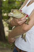 Small crocodile with tape wrapped muzzle in female hands — Stock Photo