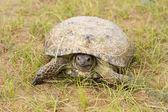 черепаха в пески пустыни кызыл-кум — Стоковое фото