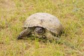 Tortoise in the Kyzyl-Kum desert — Stock Photo