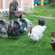 Stock Photo: Turkeys and chickens