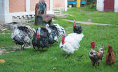 Turkeys and chickens — Stock Photo