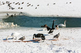 Swans on a pond in the winter — Stock Photo