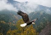 Bald Eagle in flight, Austria — Stock fotografie