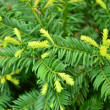 Stock Photo: Green conifer