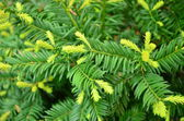 Green conifer — Stock Photo