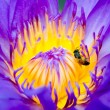 Close up of bee on purple lotus flower — Lizenzfreies Foto