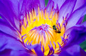 Close up of bee on purple lotus flower — Stock Photo