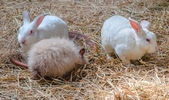 Three young rabbits on dry grass — Stock Photo