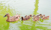 Mallard duck and baby ducklings — Stock Photo