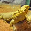 Bearded dragons — Stock Photo