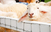 Sheep standing in a pen — Stock Photo