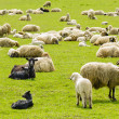 Flock of Sheep — Stock Photo #24481393
