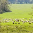 Flock of Sheep — Stock Photo #24536491