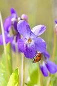 Lady bug på viola odorata blom — Stockfoto