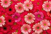 Daisy or Gerbera flower — Stock Photo