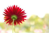 Gerbera flower — Stockfoto