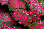 Colorful Episcia plant — Stock Photo