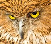 Face of Owl — Stock Photo