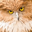 Stock Photo: Face of Owl close up