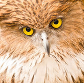 Face of Owl close up — Stock Photo