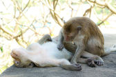 Monkey checking of fleas — Stock Photo