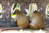 Two Monkey looking out of mesh fence — Stock Photo