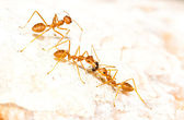 Red ants carrying food — 图库照片