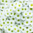 Stock Photo: White Chrysanthemum flower