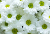 White Chrysanthemum flower — Stock Photo