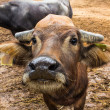 Foto Stock: Dairy buffalo in farm