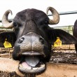 Stock Photo: Dairy buffalo in farm