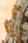 Cicada moult — Stock Photo