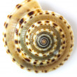 Stock Photo: Cockle shell