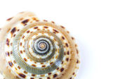 Cockle shell — Stock Photo