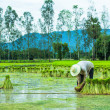 Farmer in Rice Paddy — Stock Photo #30389307