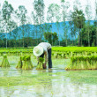 Farmer in Rice Paddy — Stock Photo #30389713