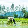 Farmer in Rice Paddy — Stock Photo #30389779