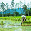 Farmer in Rice Paddy — Stock Photo #30389997