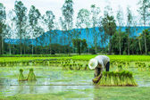 A Farmer in Rice Paddy — Stock Photo