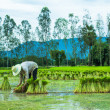 Farmer in Rice Paddy — Stock Photo #30391029
