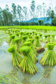 Rice Seedling in Paddy — Foto Stock