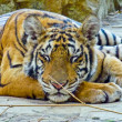 Resting tiger. — Stock Photo