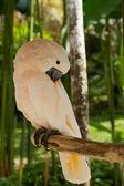 Papegoja kakadua — Stockfoto