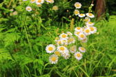 Daisies in the meadow — ストック写真