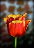 Flor tulipa — Fotografia Stock