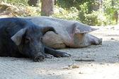 Wild pigs — Stock Photo