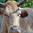 Friendly brown cow — Stock Photo